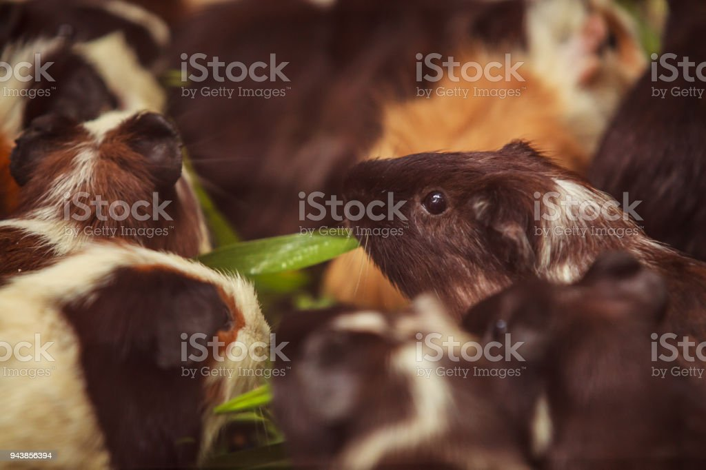 closeup, selective focus on white, red brown guinea pigs eating morning green glory vegetable pet food. The domestic guinea pig, also known as domestic cavy or simply cavy, is a species of rodent. stock photo
