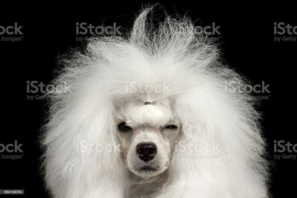 Cachorro Poodle em detalhe desgrenhado Apertando os Olhos olhando para a câmera, isolada em preto foto royalty-free