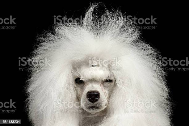 Closeup shaggy poodle dog squinting looking in camera isolated black picture id534133234?b=1&k=6&m=534133234&s=612x612&h=16xgumaeaymqwjak ccb nu28io9bzbese0ov5enn3e=