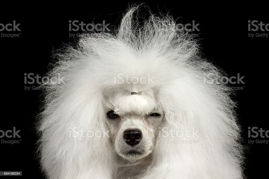 Closeup Shaggy Poodle Dog Squinting Looking in Camera, Isolated Black stock photo