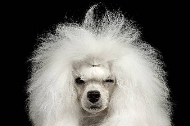 Closeup Shaggy Poodle Dog Squinting Looking in Camera, Isolated Black Closeup Portrait of Shaggy Hair Poodle Dog Squinting Looking in Camera Isolated on Black Background poodle stock pictures, royalty-free photos & images
