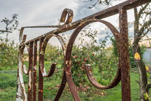 Close-up, shallow focus of a rusty garden, ornamental gate seen opened and leading the way to an apple and pear orchard in a rural location.