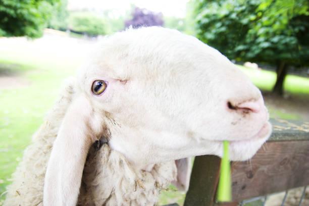 Closeup sheep's beautiful face at the farm - foto stock