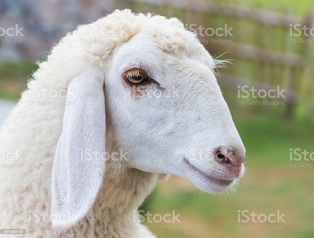 Closeup sheep's face at the farm stock photo