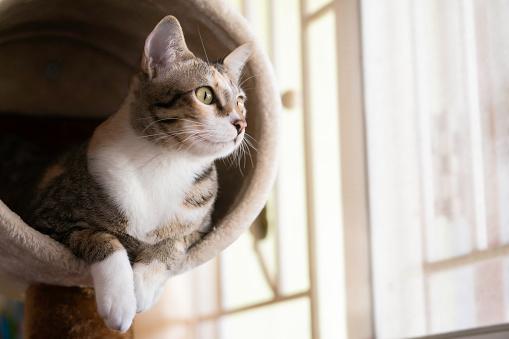 Cat Closeup shorthair cat sitting on cat tree or condo sitting on cat house