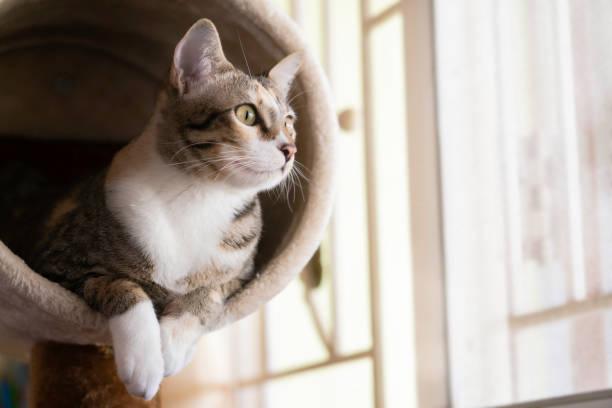 närbild shorthair katt sitter på kattträd eller lägenhet - katt inomhus bildbanksfoton och bilder