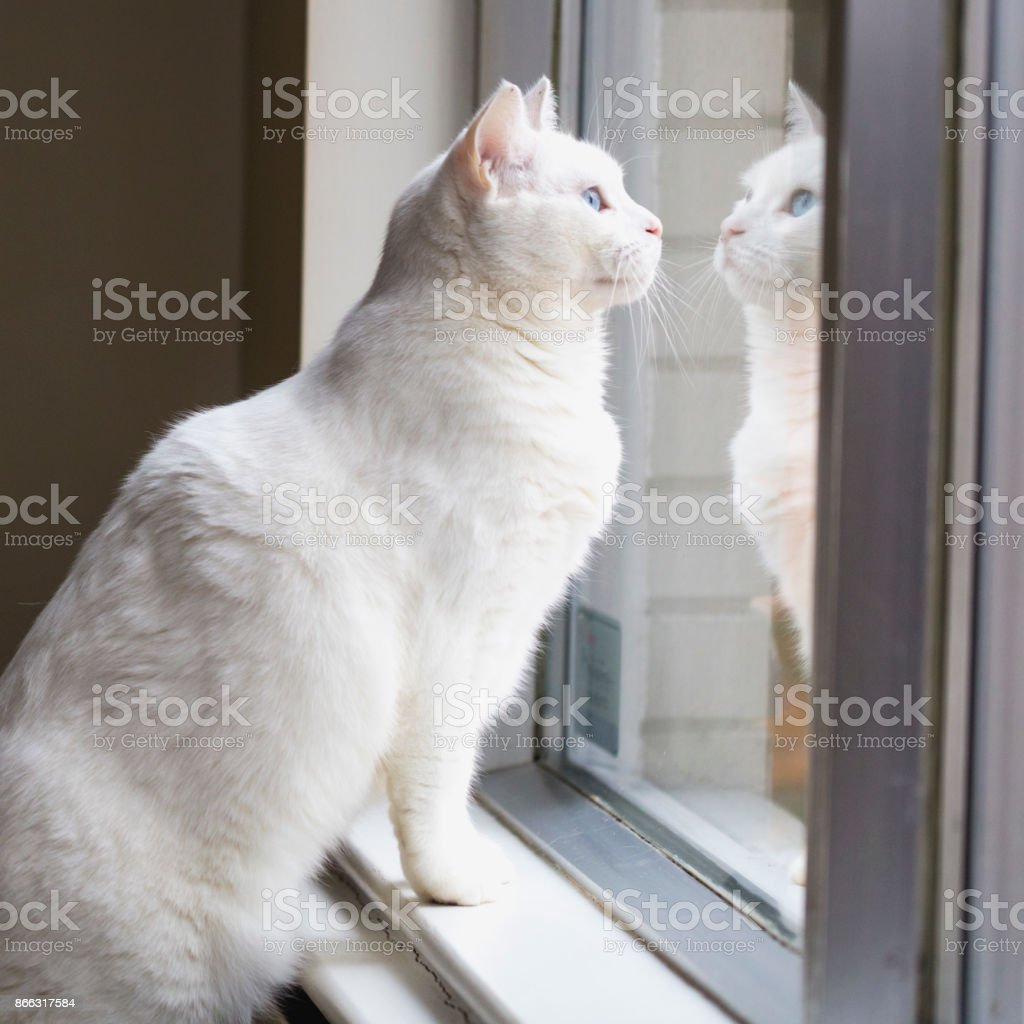 4debeb54db Close-up shot of a female Turkish Angora cat relaxing by a window. royalty