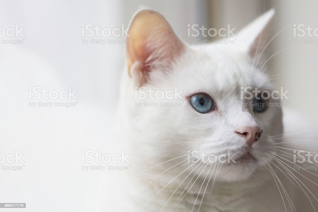Close-up shot of a female Turkish Angora cat relaxing by a window. stock photo