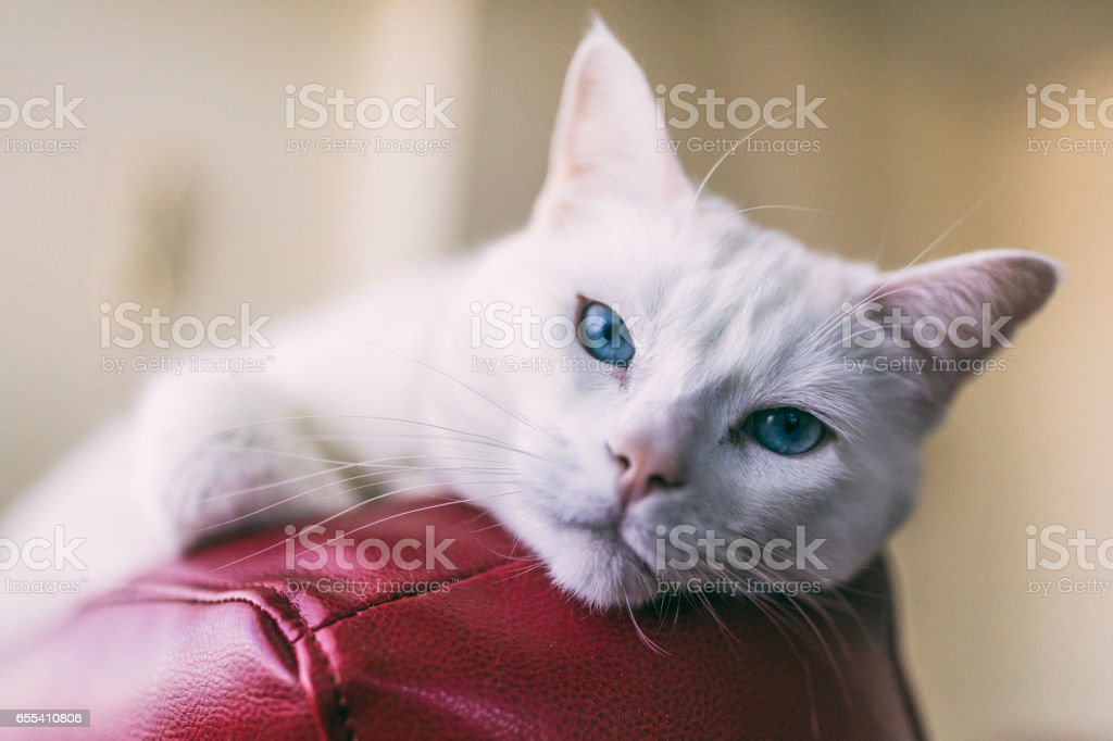 Close-up shot of a female Turkish Angora cat relaxing on top of a red leather couch.