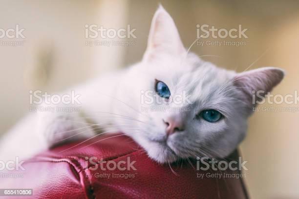 Closeup shot of a female turkish angora cat relaxing on top of a red picture id655410806?b=1&k=6&m=655410806&s=612x612&h=dwo9pewc4jcprzrjcm91qlfbi4 x5dxuqijbe6supto=