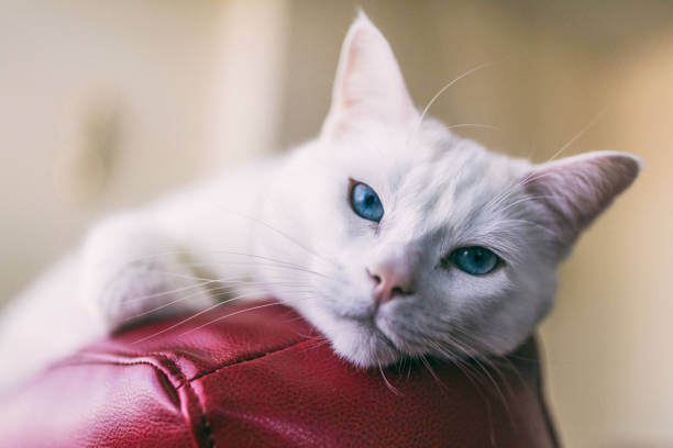 Close-up shot of a female Turkish Angora cat relaxing on top of a red leather couch. stock photo