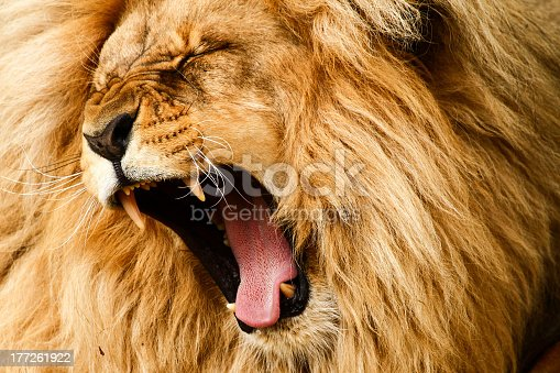 Yawing lion (Leon) photographed at zoo !stA- nad Labem (Czech republic)  See my other big cats