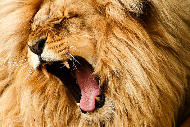 close-up shot of a golden haired lion roaring loudly - lion stock photos and pictures