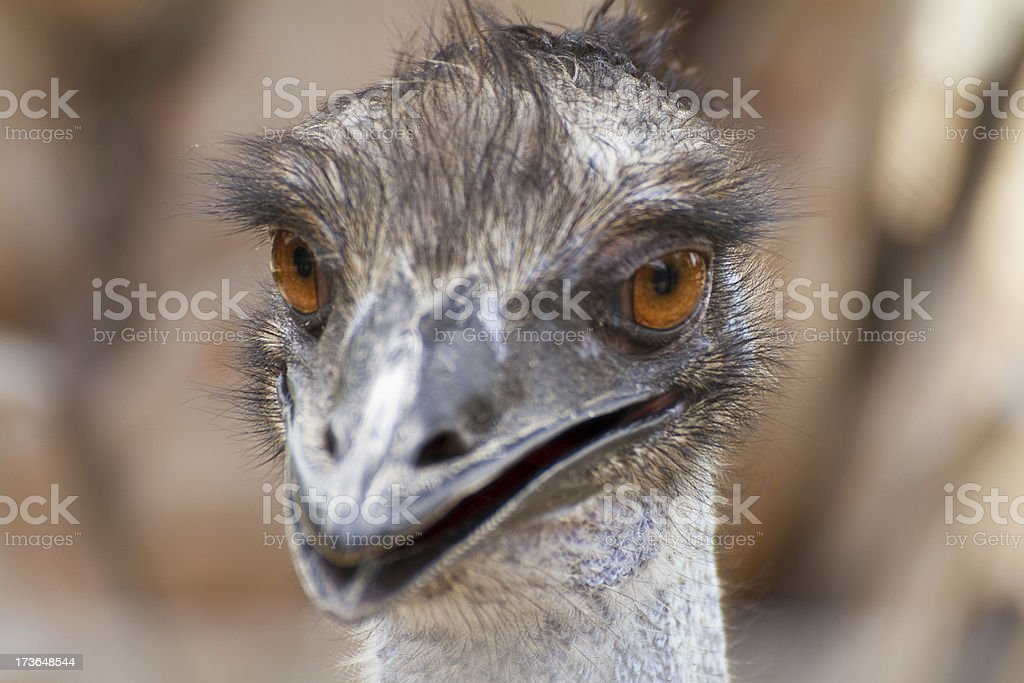 Closeup shot of a grumpy Emu bird royalty-free stock photo