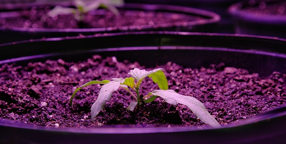 597927996 istock photo Close-Up Shot of a Marijuana (Cannabis) Seeding Growing in Pots underneath a Purple Light in an Indoor Growing Facility (Hemp) 1204090277