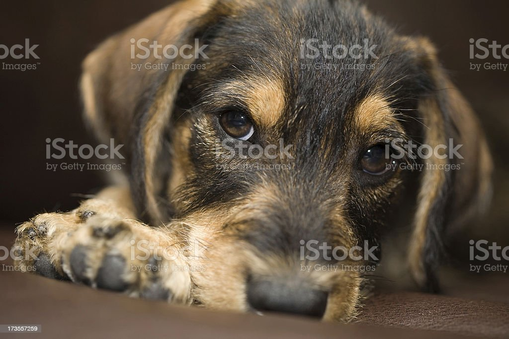 Close-up shot of a mixed breed puppy. royalty-free stock photo