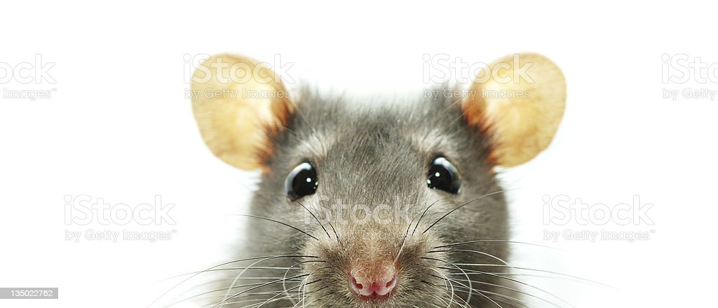 A close-up shot of a mouse on a white background stock photo