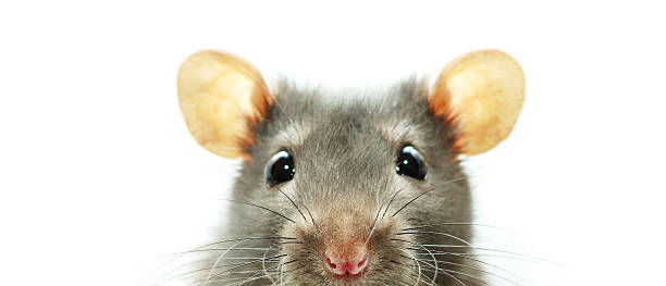 A close-up shot of a mouse on a white background圖像檔