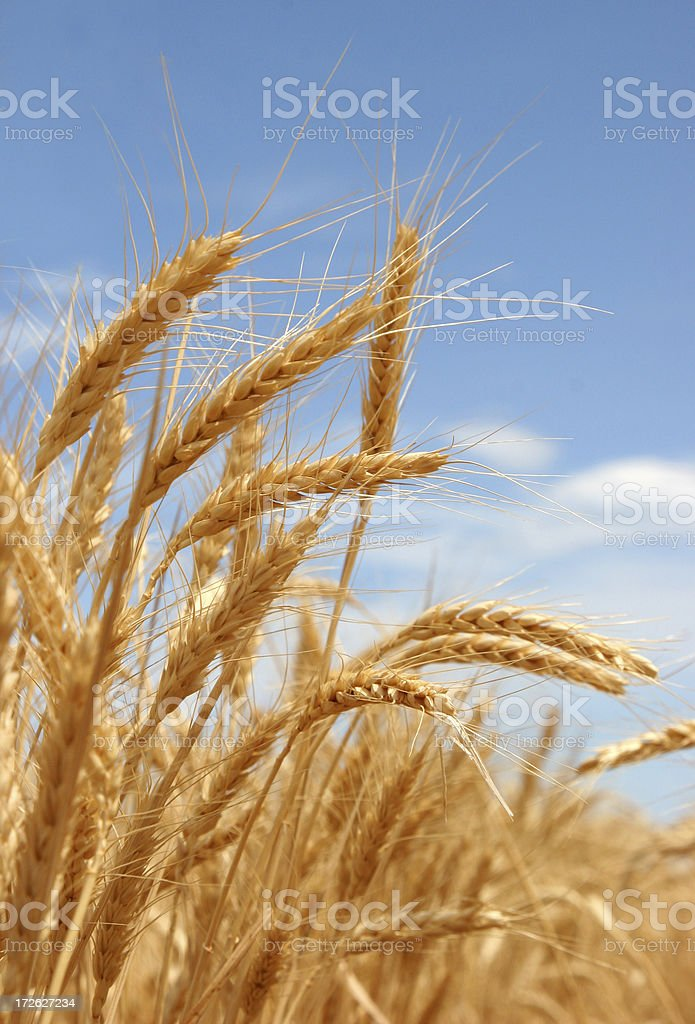 A close-up shot of a ripe summer wheat royalty-free stock photo