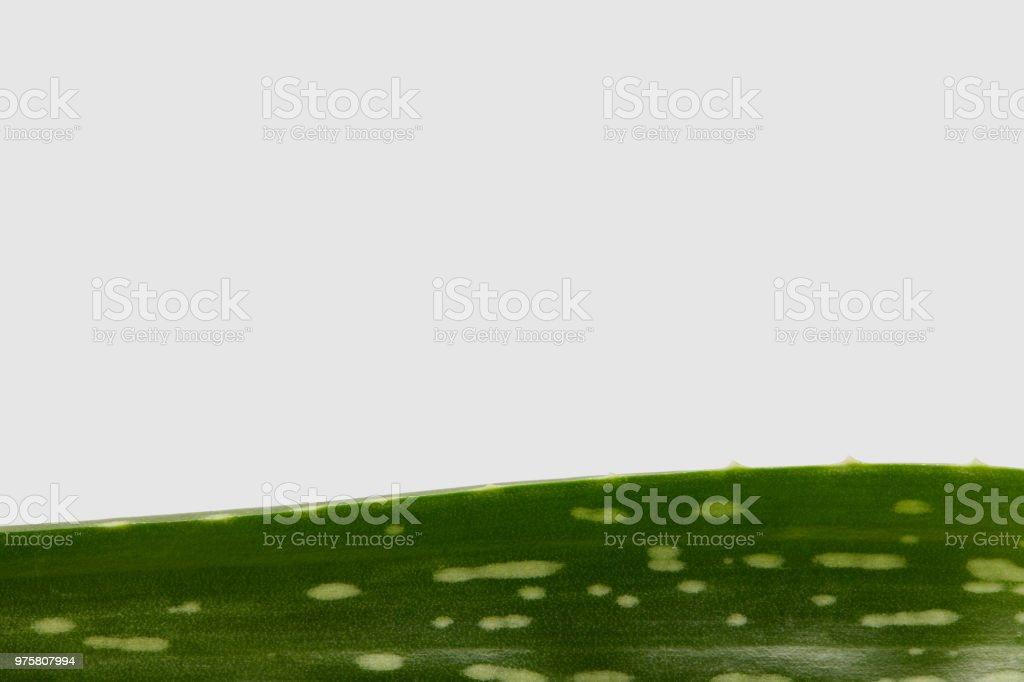 Closeup Aufnahme des Aloe Vera Blattes isoliert auf weißem Hintergrund - Lizenzfrei Aloe Stock-Foto
