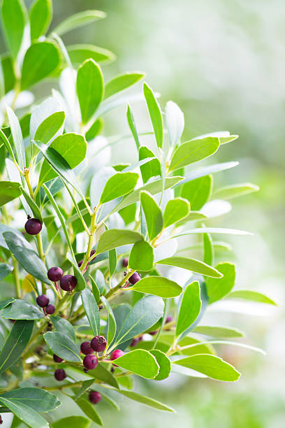 Closeup shot of An Evergreen winterberry or Inkberry Holly stock photo