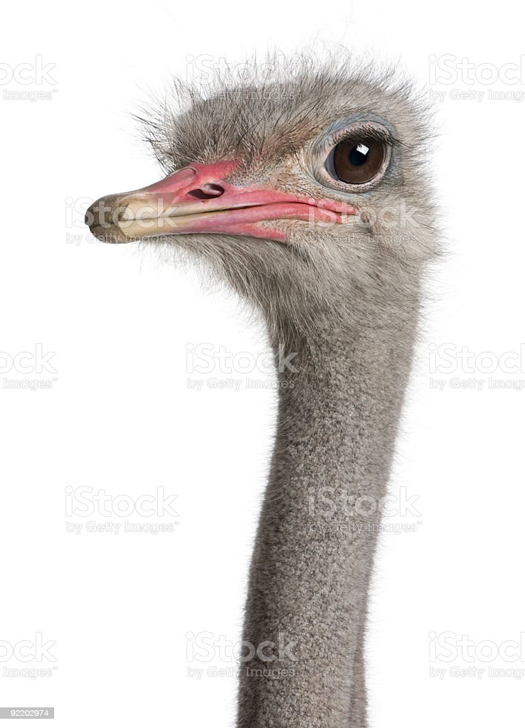 A close-up shot of an ostrich head with brown eyes  stock photo