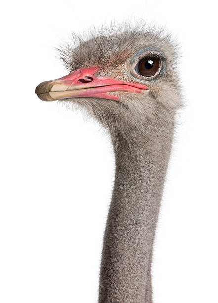 a close-up shot of an ostrich head with brown eyes  - struisvogel stockfoto's en -beelden