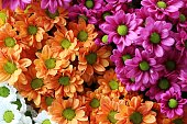 A closeup shot of beautiful colorful chrysanthemums - perfect for wallpaper