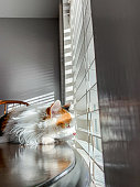 Close-Up Shot of Beautiful Happy Female Calico Indoor Domestic Fluffy House Cat Feline Pet On a Wooden Table Looking Outdoors Through the Blinds Into the Sunset During the Winter