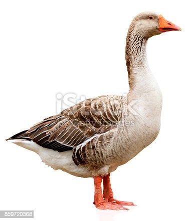 Closeup shot of big grey adult goose, isolated on white background