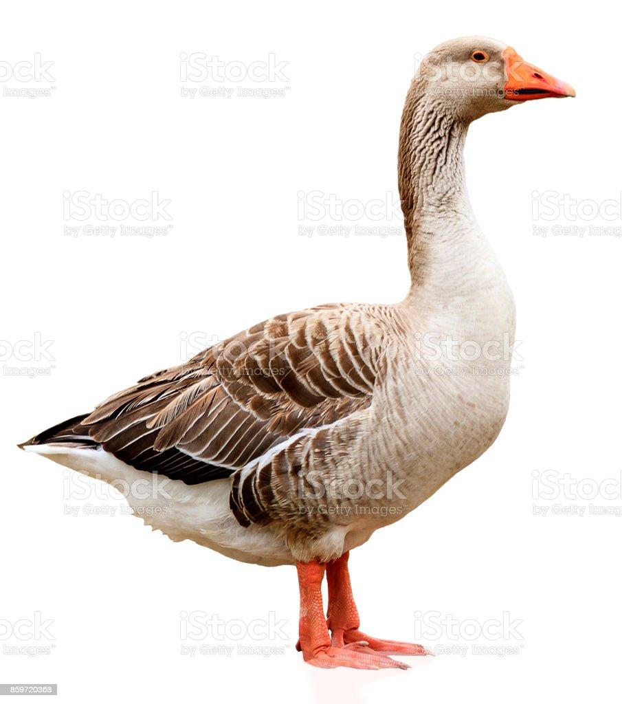 Closeup shot of big grey adult goose stock photo