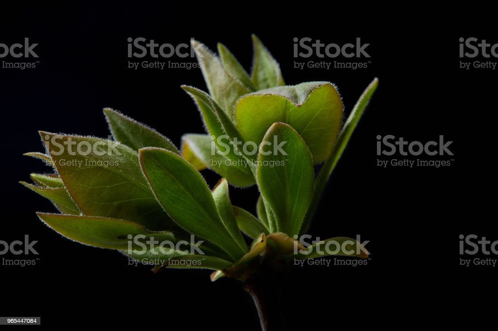 closeup shot of branch with leaves isolated on black background royalty-free stock photo