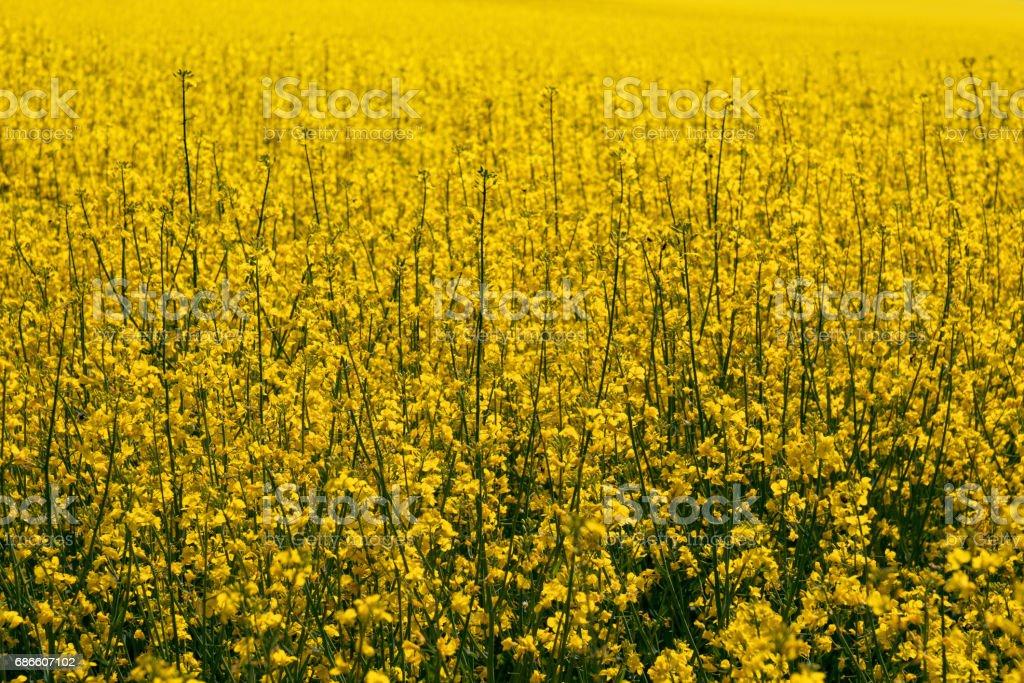 Closeup shot of bright yellow colza field royalty-free stock photo