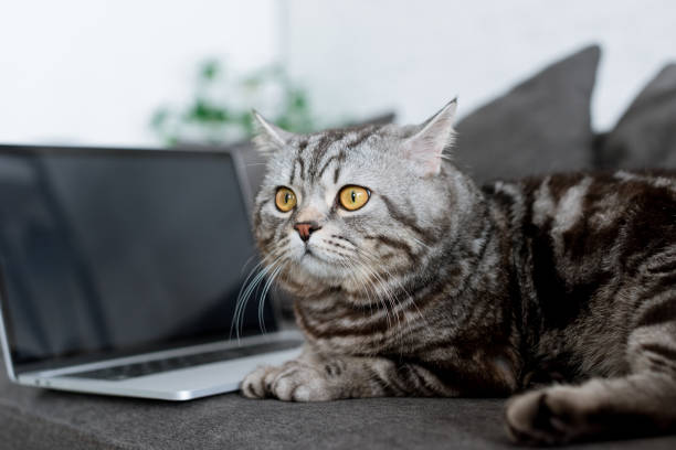 Closeup shot of cute scottish straight cat with laptop on couch picture id980126096?b=1&k=6&m=980126096&s=612x612&w=0&h=fyi8yz1lecqy7bysistbcq4vxifwwit2lf9rzxtbage=