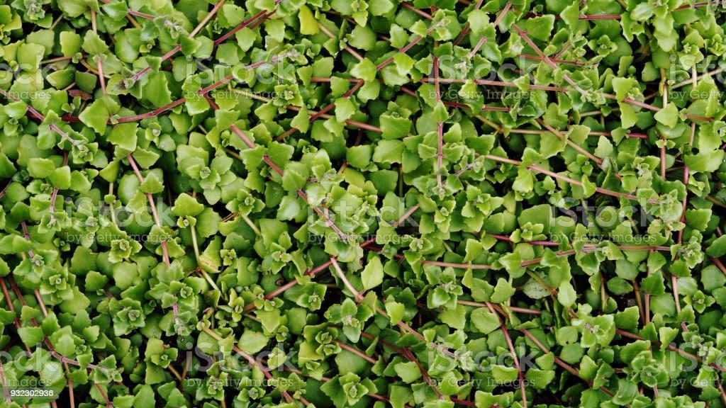 Closeup Shot of Green Leaves for Interior / Exterior Works, Background, Backdrop, or Wallpaper. stock photo