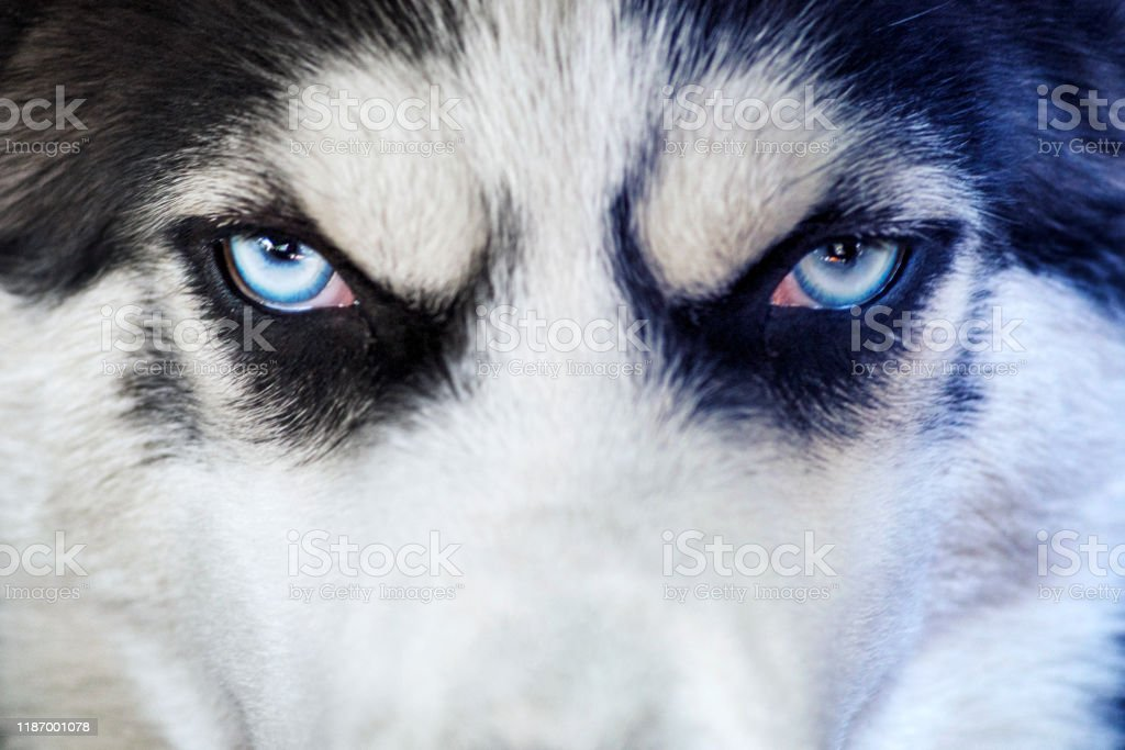 Closeup Shot Of Husky Dog Blue Eyes Husky Dog Of Black And White Color With Blue Eyes Thoroughbred Stock Photo Download Image Now Istock