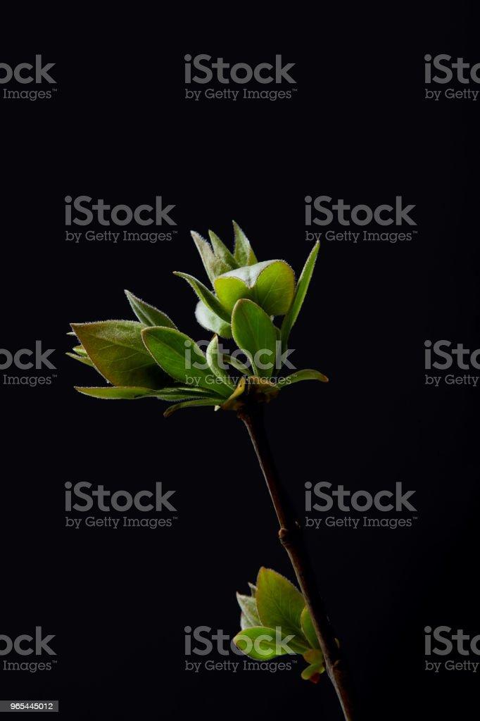 gros coup de feuilles sur la branche isolée sur fond noir - Photo de Botanique libre de droits
