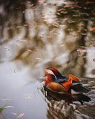Closeup shot of Mandarine ducks
