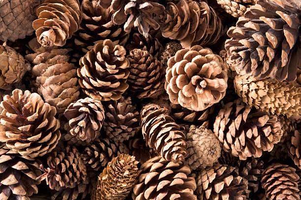 Pinecones primer plano - foto de stock