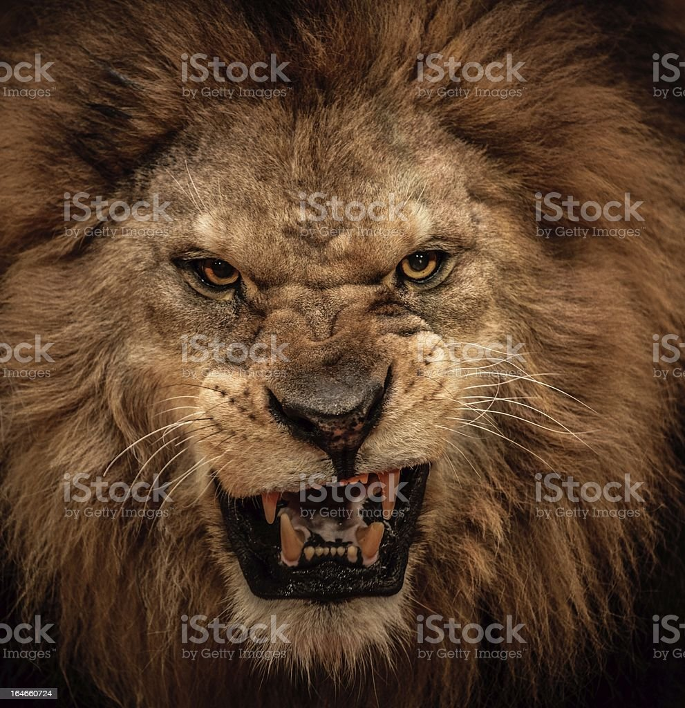 Close-up shot of roaring lion stock photo
