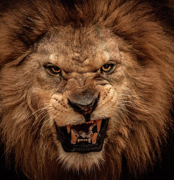 close-up shot of roaring lion - aggression stock pictures, royalty-free photos & images