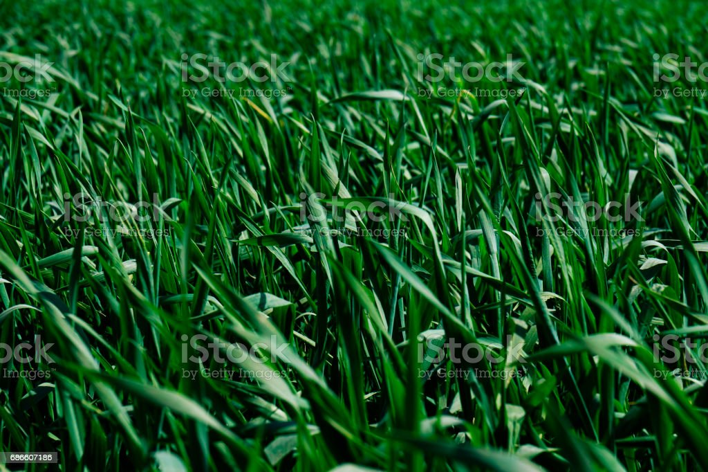Closeup shot of the young bright green corn field royalty-free stock photo