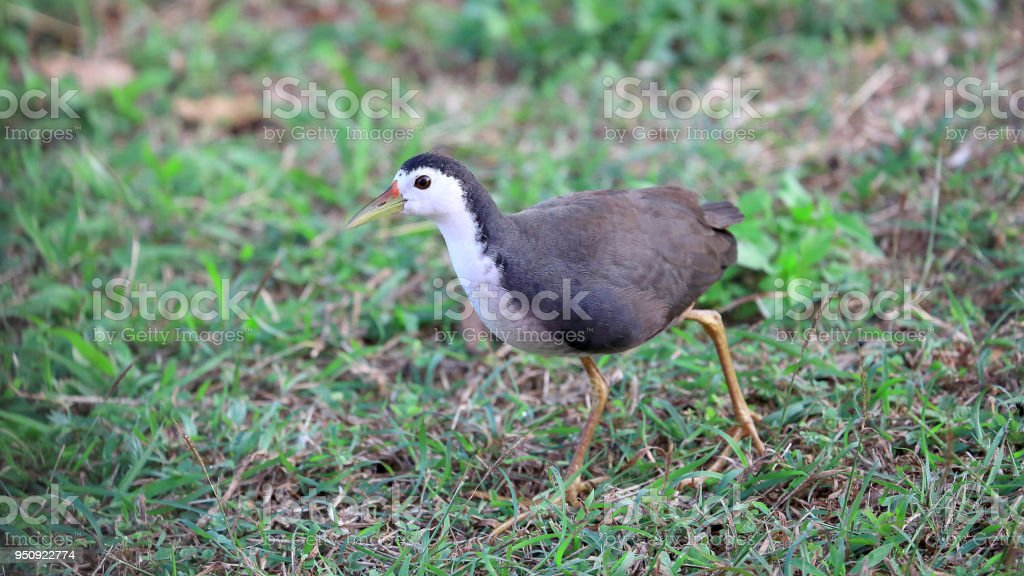 Close-up shot of White-breasted Waterhen , Birds, Running in green...