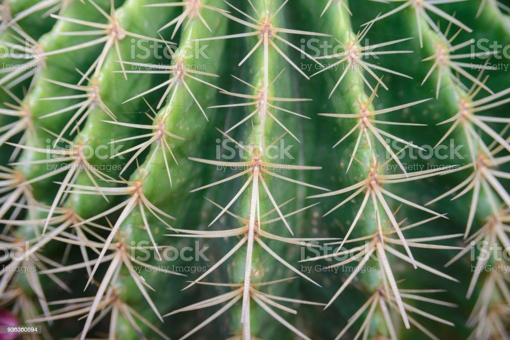 close-up shot on Thorn Echinocactus grusonii Cactus stock photo