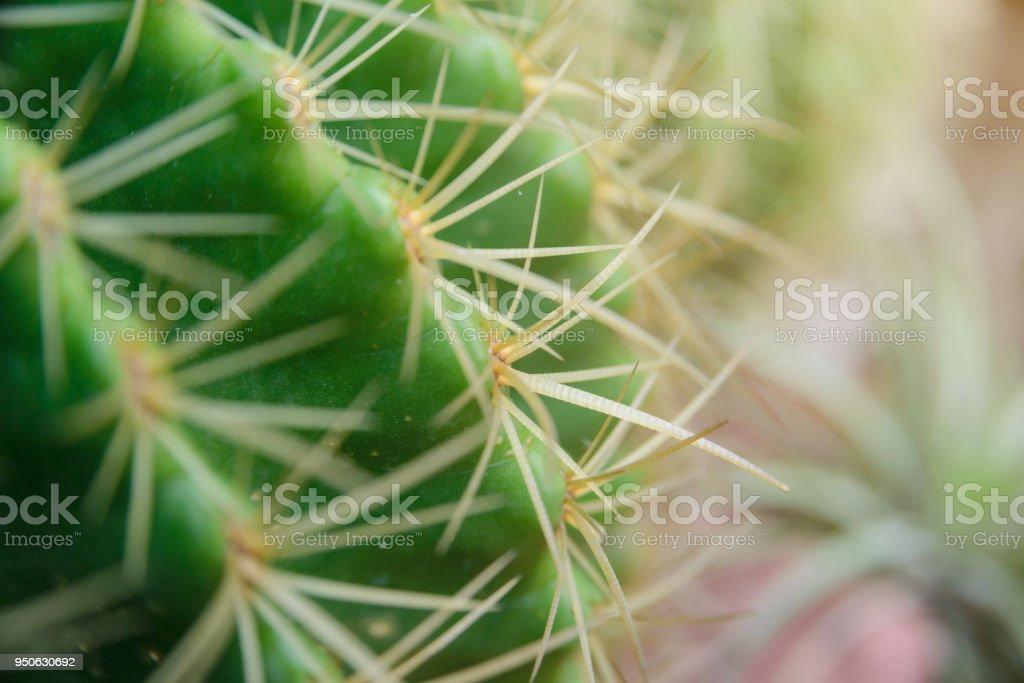 Close-up erschossen am Dorn Echinocactus Grusonii Kaktus – Foto