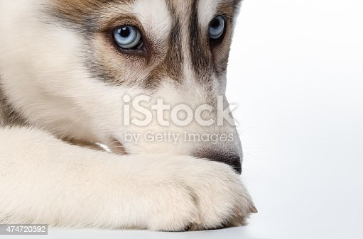 Closeup  Siberian Husky Puppy on White background