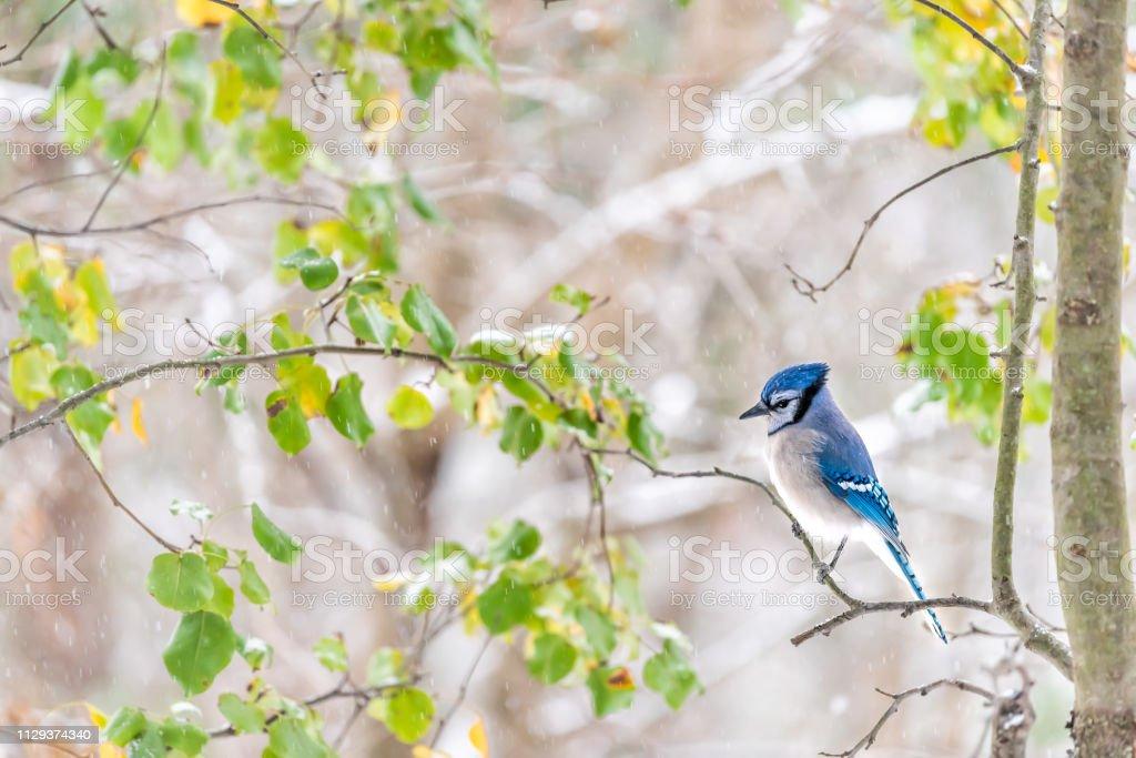 Closeup de lado de um bonito azul jay Cyanocitta cristata pássaro empoleirado no galho de árvore durante a chuva de neve Primavera Outono folhas verdes em Virgínia - foto de acervo