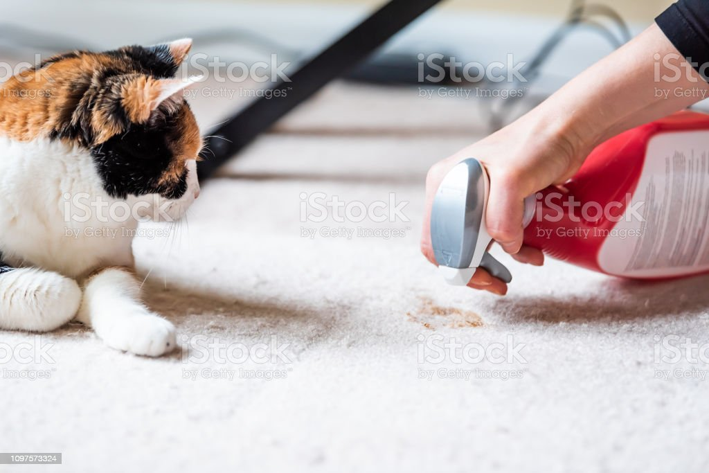 Closeup side profile of calico cat face looking at mess on carpet inside indoor house, home with hairball vomit stain and woman owner cleaning stock photo