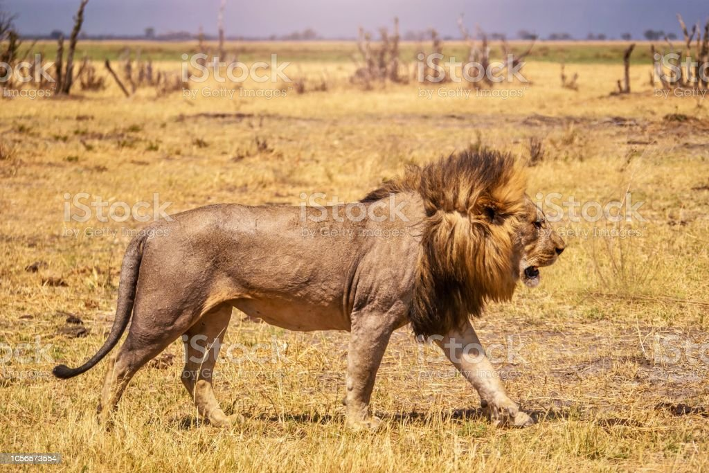 Closeup Side View Of A Healthy Adult Male Lion Walking ... - photo#9