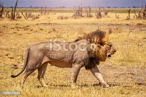 A male lion, looking strong and healthy, with its tawny coat and golden mane clearly visible, walking from left to right, the right side of its body and face clearly visible. The wind is blowing his mane, creating a side part. The landscape is dry, with dried grass and dead wood in the scene.